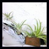 wonclo plants ☆ ティランジア カピタータ